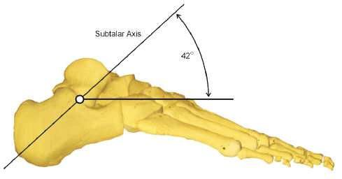Foot structure four segments hindfoot (1, 2), midfoot (3-7