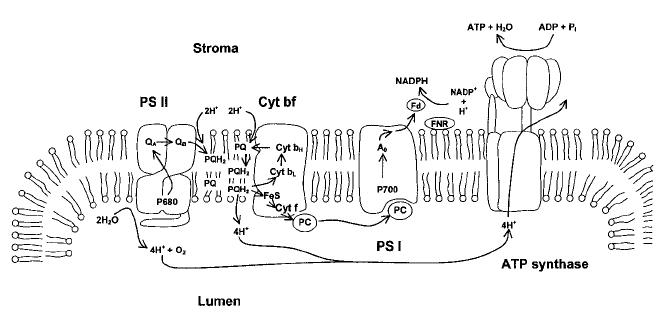 diagram of thylakoid