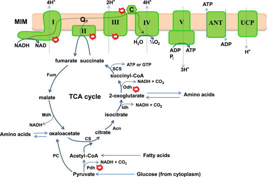 Aerobic respiration, oxidative phosphorylation, and chemiosmotic