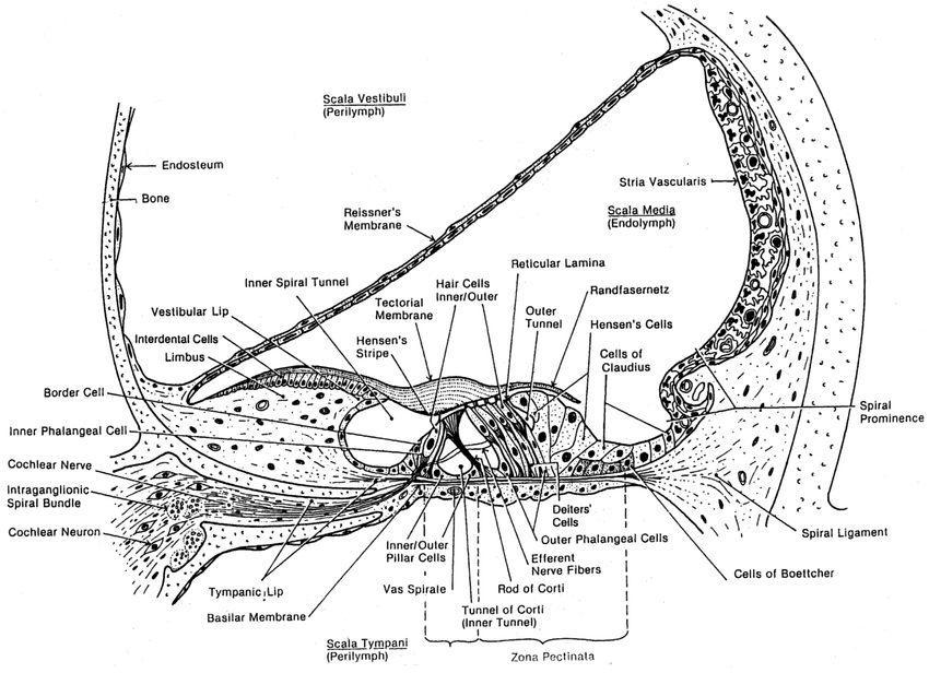 cochlea diagram cross section