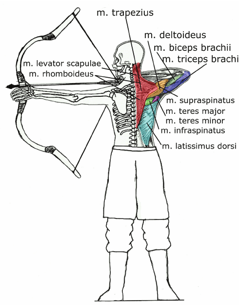 torso anatomy diagram