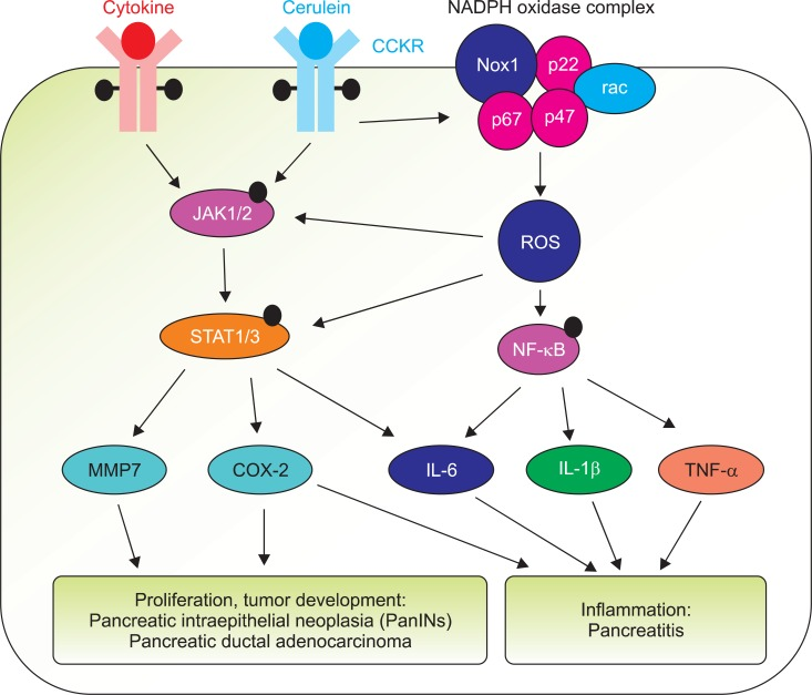 Possible role of Janus kinase/signal transducers and activators of