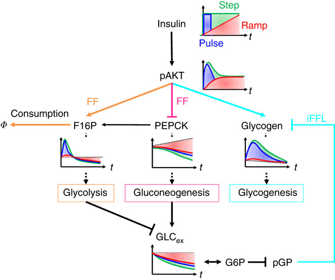 Selective control mechanisms of the glycolysis, gluconeogenesis and