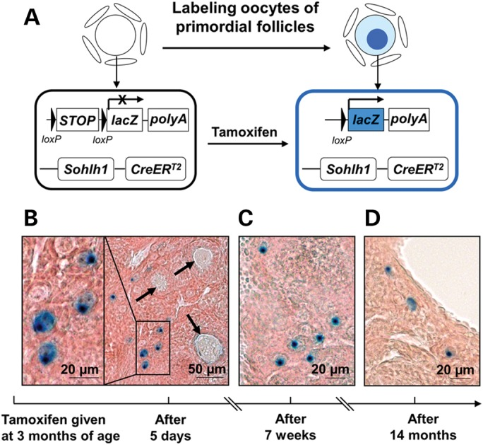 Labeling of primordial follicles in adult mouse ovaries using the