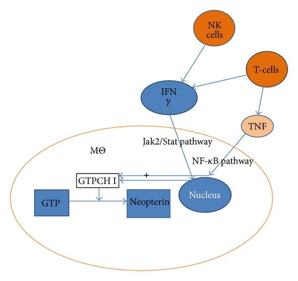Pathways for induction of neopterin production (MΘ macrophage, Jak