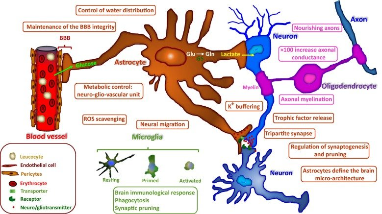 The physiological roles of glia cells Brain homeostasis is
