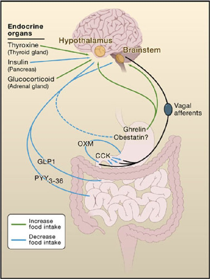 Interactions of gut and endocrine hormones with the brain and how
