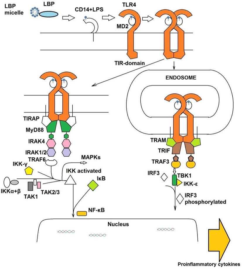 The lipopolysaccharide (LPS)/toll-Like Receptor 4 (TLR4) signaling