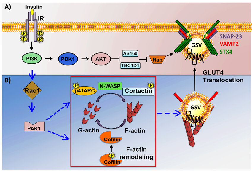 Two arms of the insulin signaling pathway in skeletal muscle cells