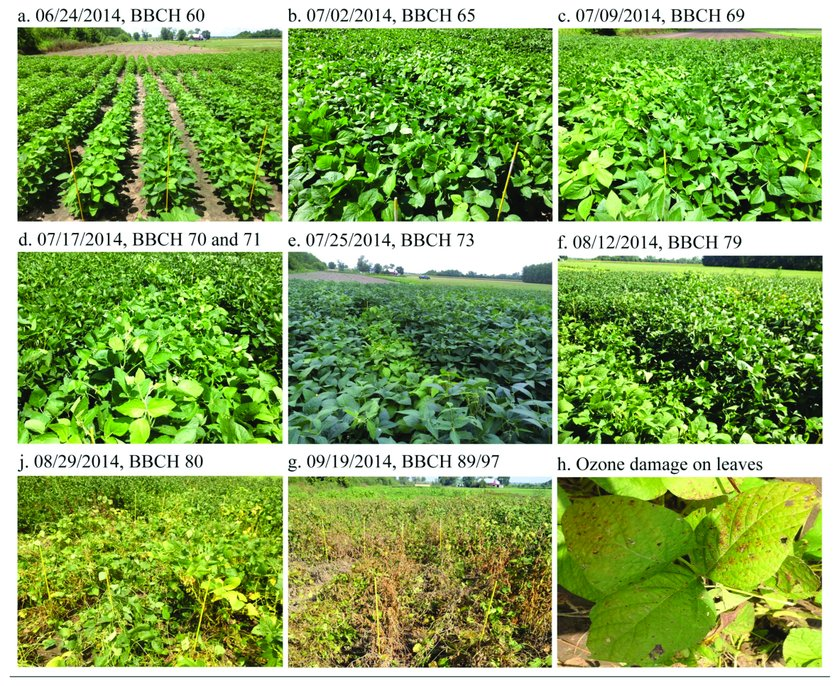 Phenological stages of soybean genotypes during the growth period