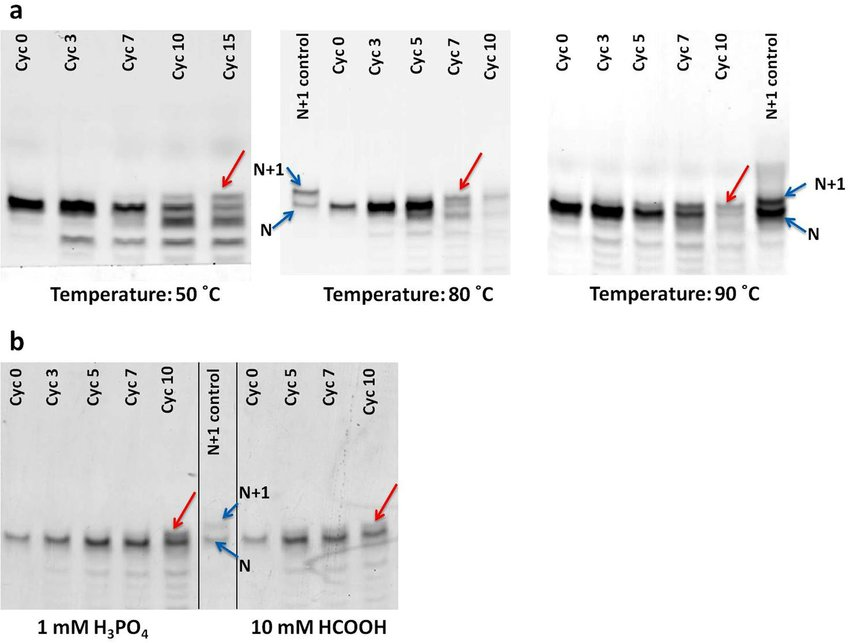 Extension of RNA primer in the presence of MisInc_U template, 5\u2032-AMP