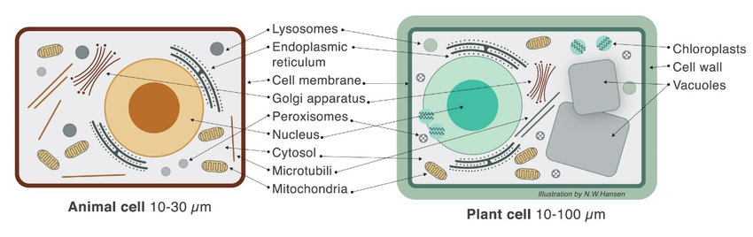 Schematic illustration of an animal and a plant cell The cell wall