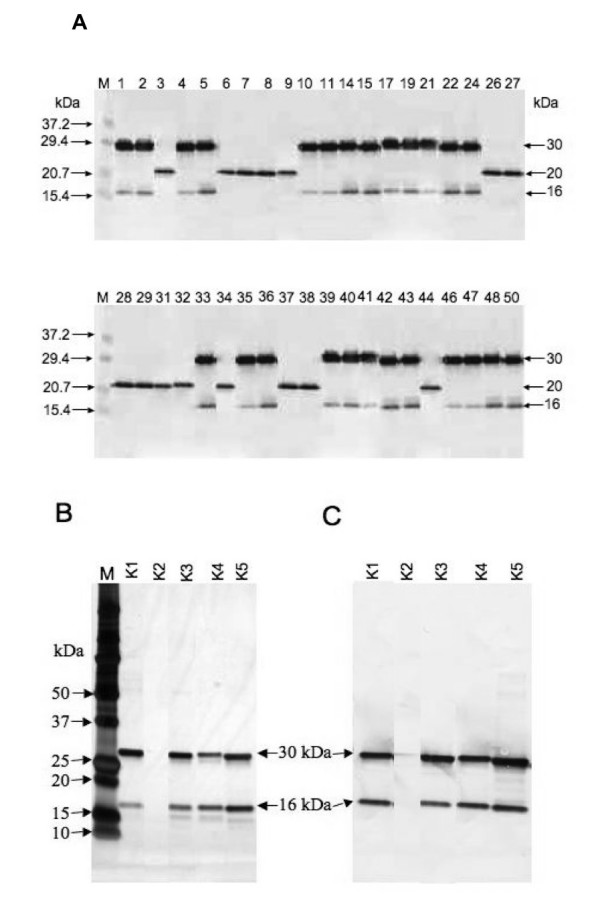 SDS-PAGE and Western blot analysis of scFv expression A