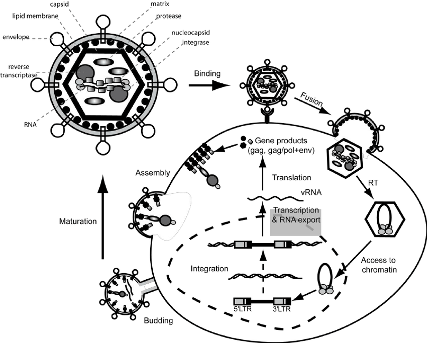 diagram of reverse transcription