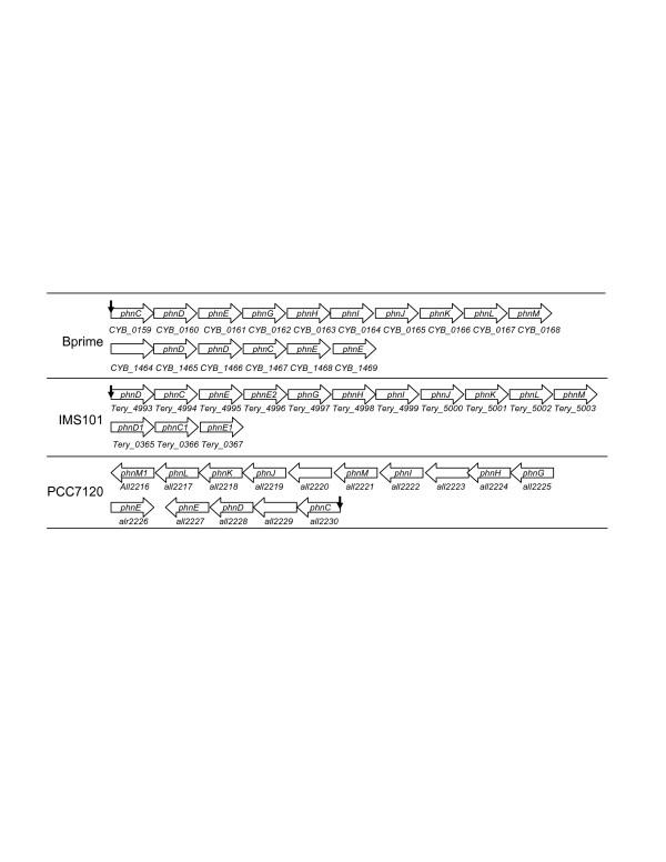 Genomic organization of the phn genes in cyanobacteria A vertical