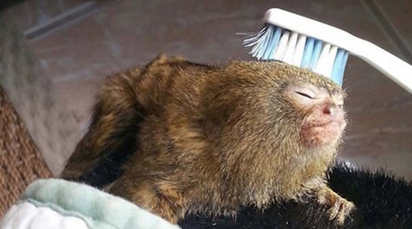Cute Baby With Parents Wallpaper Orphaned Pygmy Marmoset Loves Getting A Toothbrush Massage