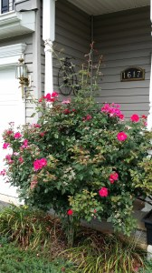 Rose Bush Needs Trimming