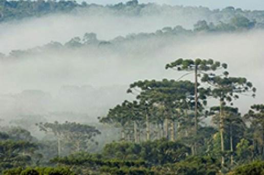 O pinheiro-do-paraná é a espécei mais conhecida da Floresta com Araucárias - Crédito: Zig Koch