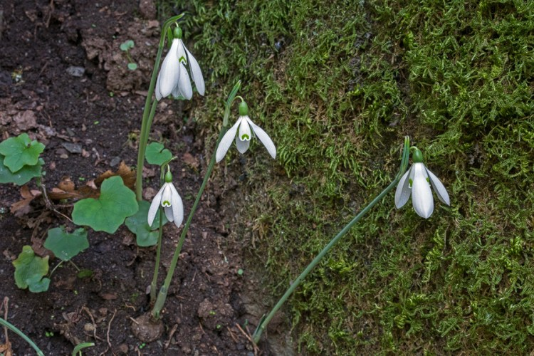 Exposed bulbs of Galanthus reginae-olgae, among tree roots in a seasonal river bed. Presumably bulbs are regularly washed downstream.