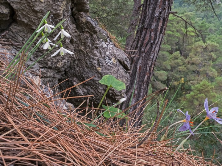 Galanthus peshmenii, flowering with Cyclamen wattiorum. Göynük Canyon, 25/11/15.