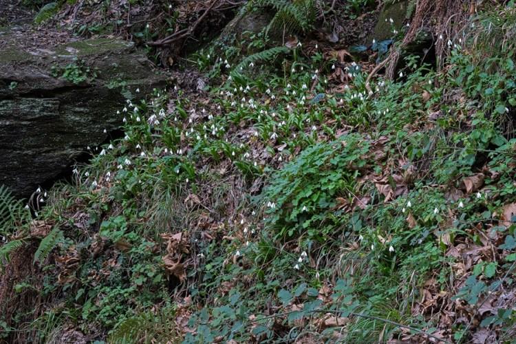 Galanthus ikariae subsp. snogerupii. Andros, 29/12/15.