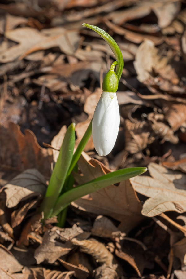 Galanthus fosteri, east of Iskenderun, 2/2/16. Note bight green leaves and obviously supervolute vernation.
