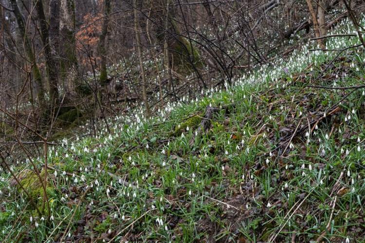 G. nivalis, Slovenia, 29/2/16.