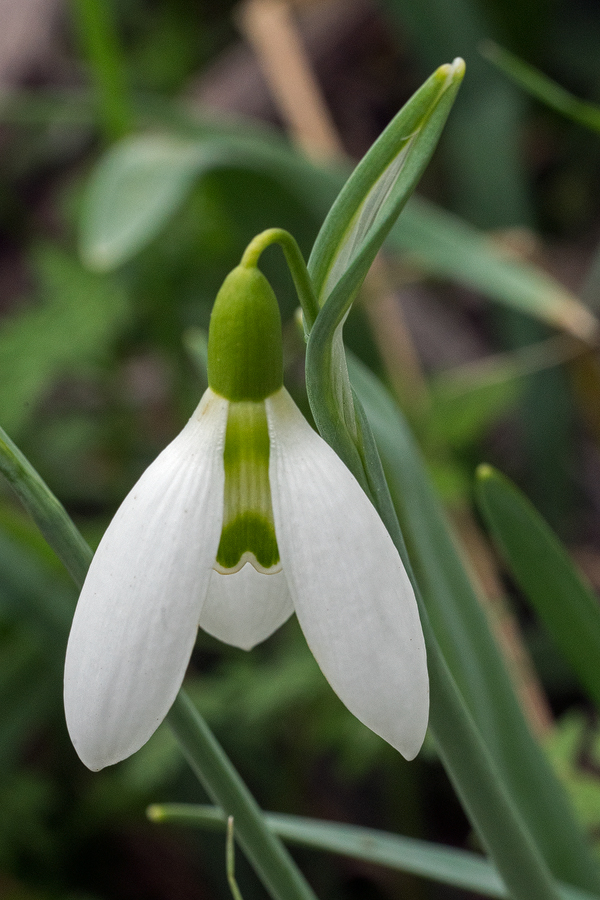 Galanthus x valentenei nothosubsp. sublicatus, Thrace, 2/3/16. Variation in flower shape and markings.