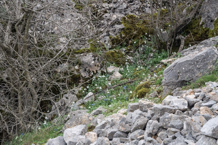 Galanthus gracilis habitat: limestone rubble beneath north-facing cliffs, often under shrubs and small trees. Near Izmir, western Turkey, 9/3/16.