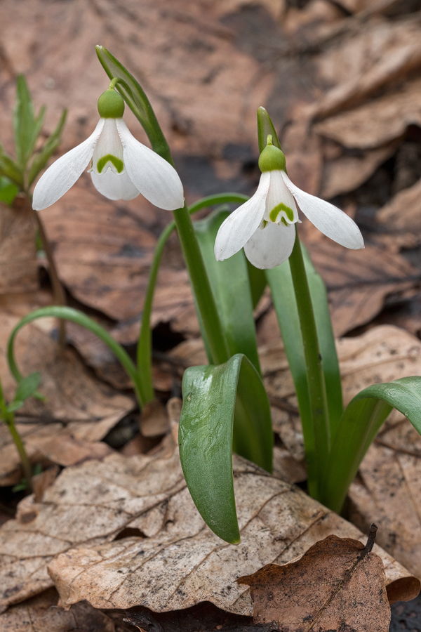 Galanthus 'ketzkhovelli', north of Tblisi, 25/3/16. Variation in flower shape and markings.
