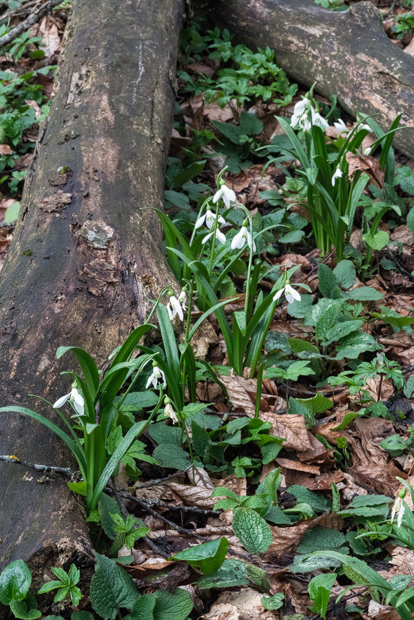 Galanthus 'ketzkhovelli', north of Tblisi, Georgia, 26/3/16. Note the more erect foliage of plants in this sub-population, growing among G. woronowii.