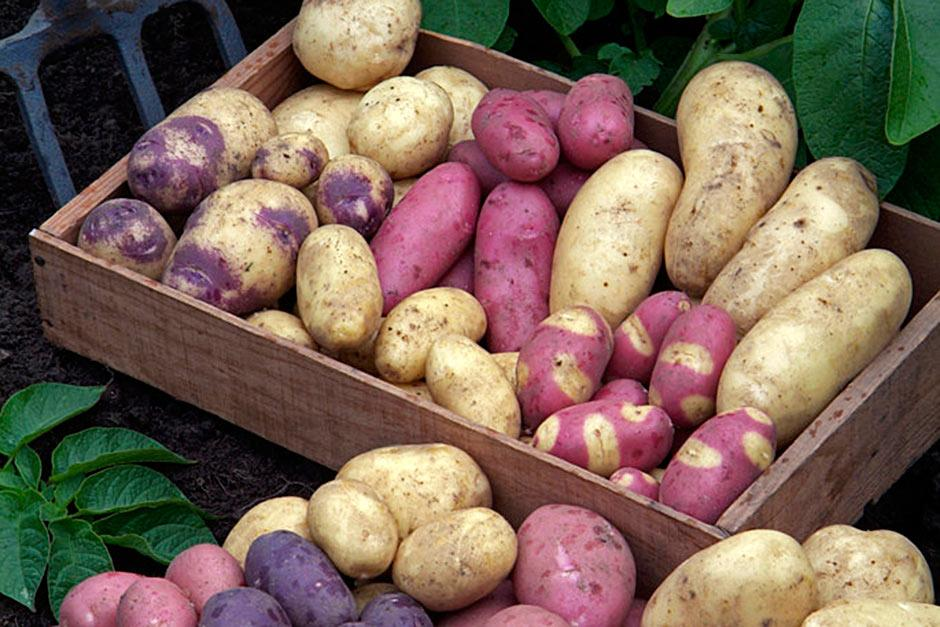 How To Grow Potatoes Rhs Gardening
