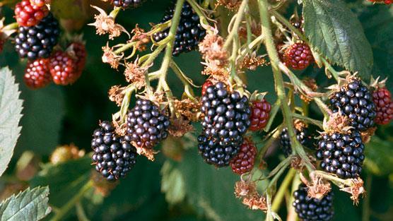 How To Grow Blackberries / Rhs Gardening