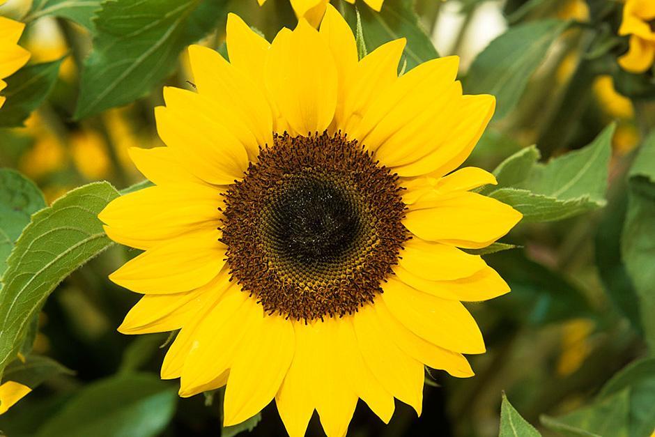 Plants For Kids - Sunflowers / Rhs Gardening