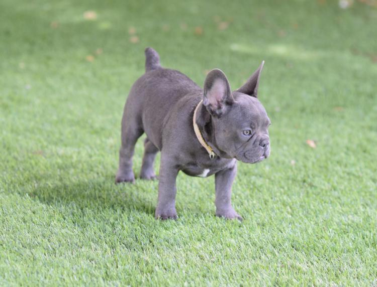 cachorro bulldog frances blue  tan
