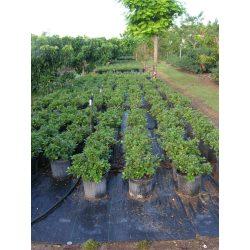 Small Crop Of Green Island Ficus