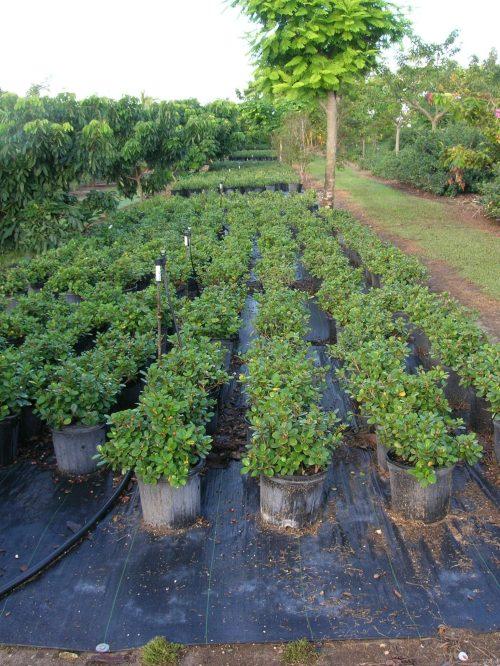 Medium Of Green Island Ficus