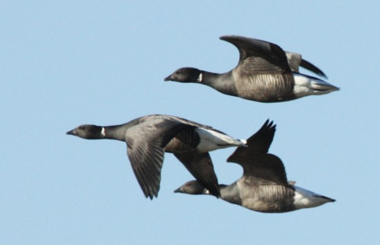 Brent geese, SWT Trimley Marshes