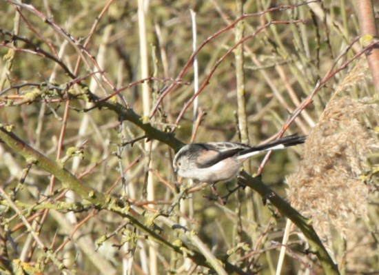long-tailed tit, 'bumbarrels' in Suffolk dialect