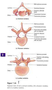 Inspirasjon: ryggvirvel (vertebrae)