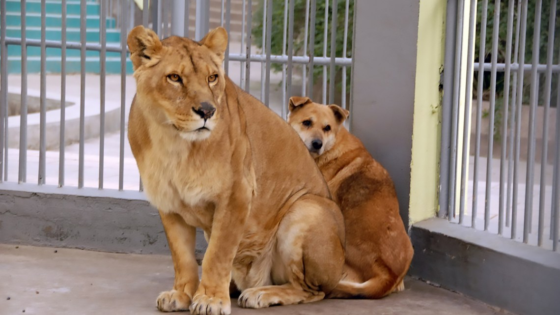 Dog Hiding Behind Lion