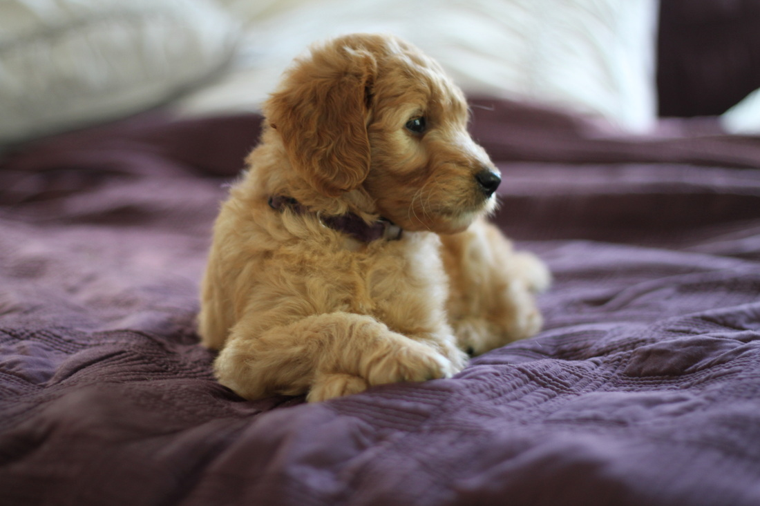 red goldendoodle for sale purple collar girl nicknamed melody by river valley doodles