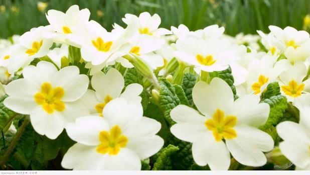 زهرة الياسمين - فوائد الياسمين الصحية والجمالية