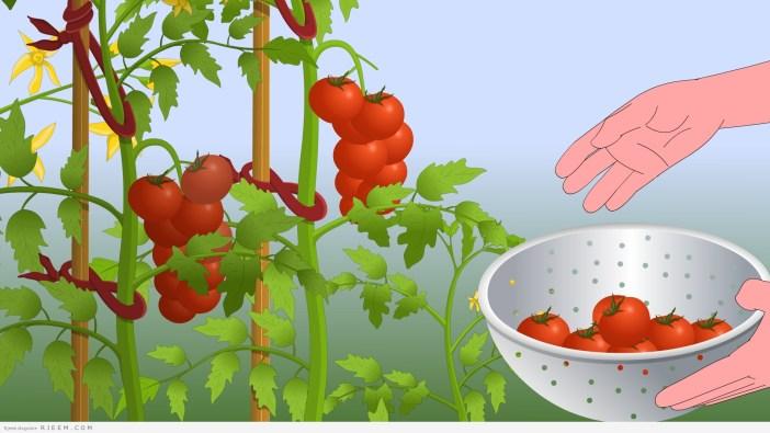 13 فائدة صحية وجمالية للطماطم
