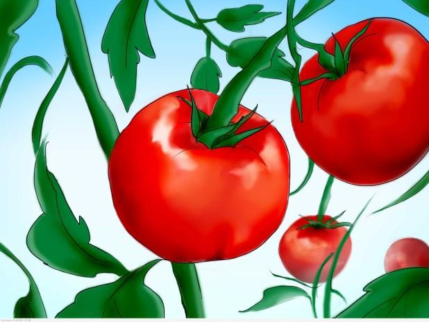 فوائد الطماطم الصحية والجمالية