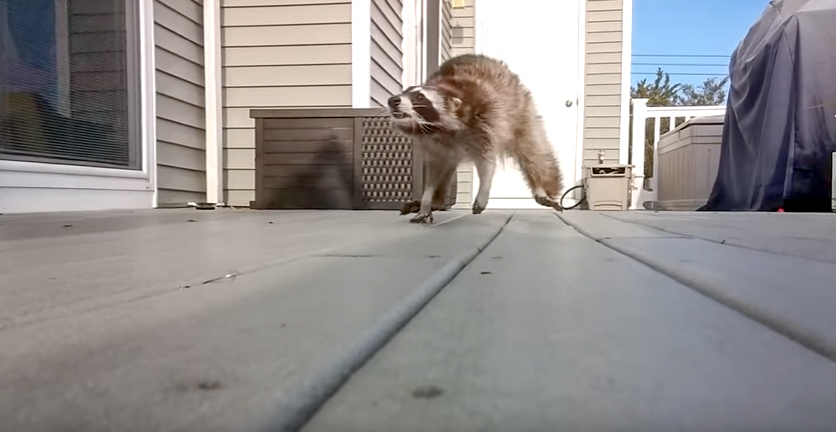 Racoon vs Man With Broom