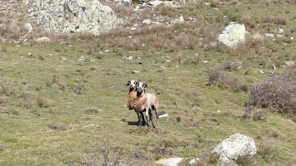 Moutons du Cameroun