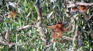 Proboscis monkeys, Tanjung Puting, Kalimantan, Indonesia