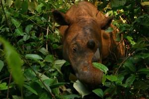 Highly endangered Sumatran Rhinocerus