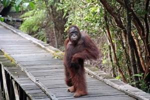 Camp Leakey orangutan, Kalimantan, Indonesia